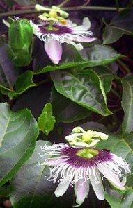 rare hawaiian flower