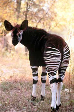 The mysterious okapi.