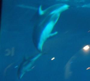 baby dolphin at shedd aquarium