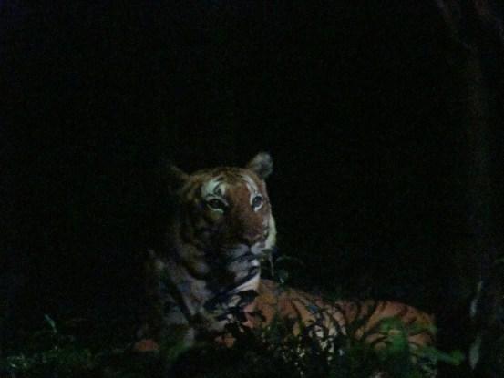 Singapore Night Safari Tiger