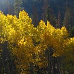 Grove of Aspen Trees in Colorado