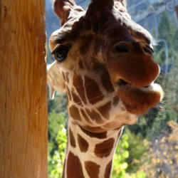 Giraffe at Cheyenne Mountain Zoo