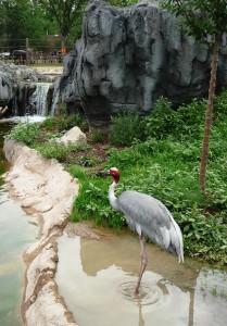 Sarus Crane at the Denver Zoo
