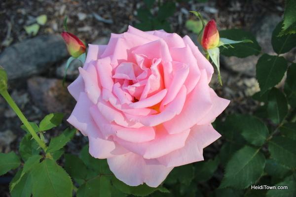 Pink rose in Golden Colorado HeidiTown.com