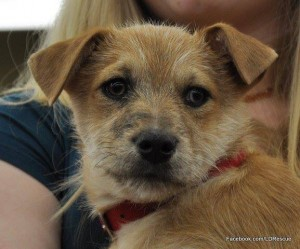 Ollie, available at Lucky Dog Rescue in Colorado Springs.