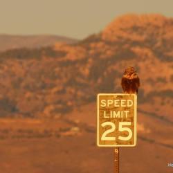 rough legged hawk at Fossil Creek Reservoir Colorado HeidiTown.com