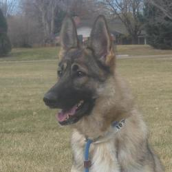star available at Front Range German Shepherd Rescue