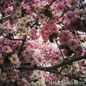 floweriing tree spring in Colorado HeidiTown.com
