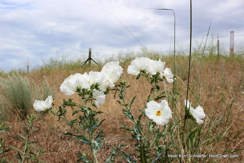 Prickly poppies in Northeast Colorado, Heidi Kerr-Schlaefer. HeidiTown.com 1