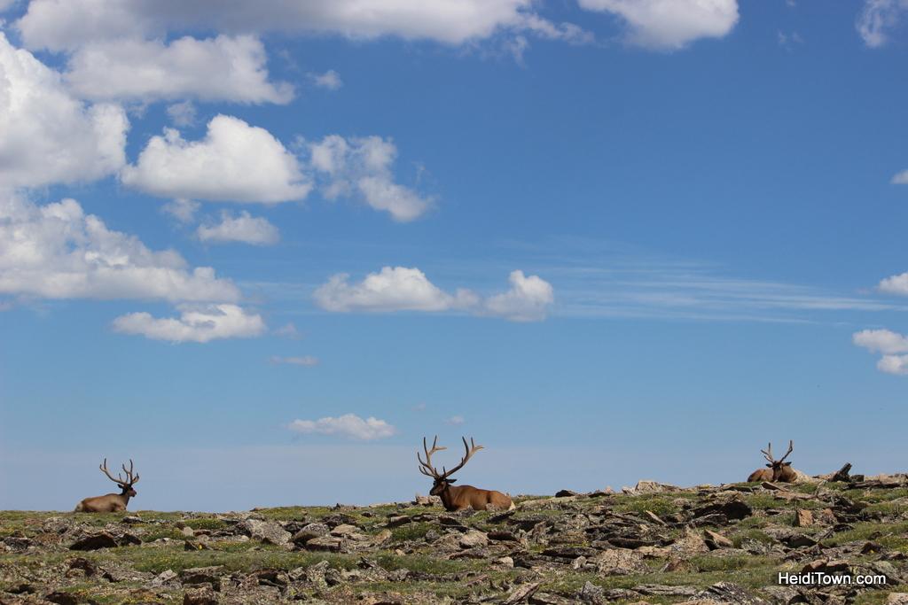 Three beautiful elk bucks at Rocky Mountain National Park near Trail Ridge Road. HeidiTown.com
