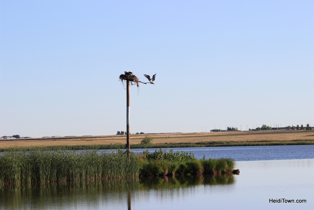 nesting osprey in Colorado. Heidi Kerr-Schlaefer, HeidiTown (3)