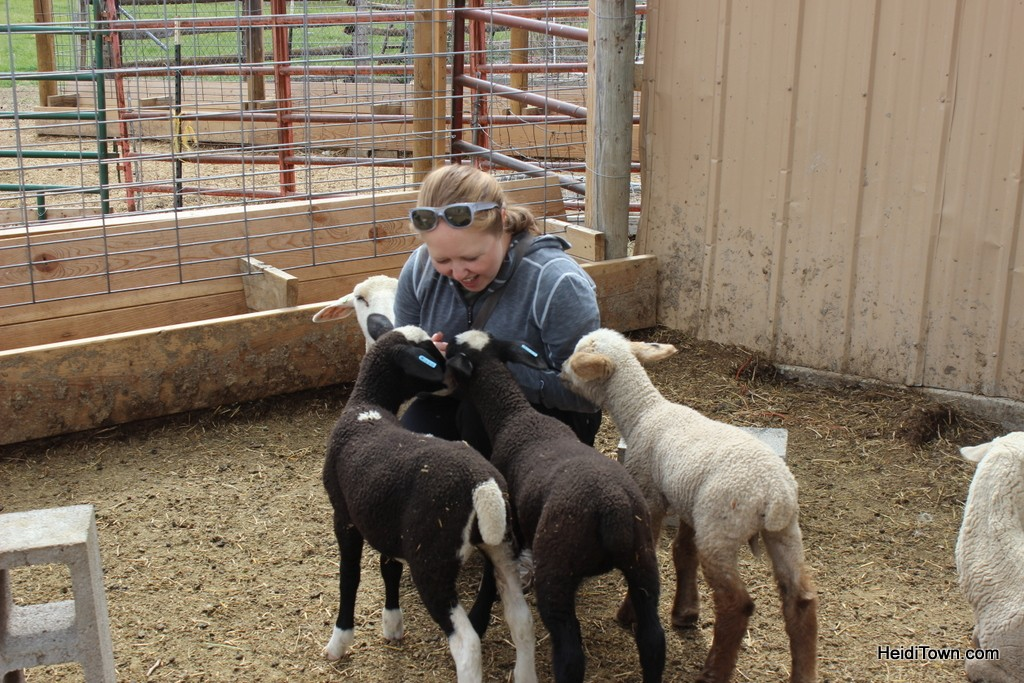 Lovin on baby sheep at the Living Farm in Paonia, Colorado. HeidiTown.com