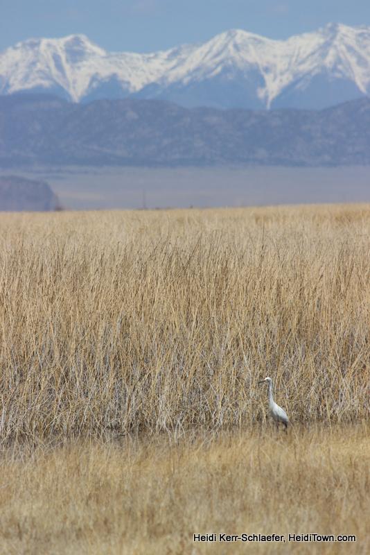 Egret near Montrose, Colorado. Birding in Colorado. HeidiTown.com Heidi Kerr-Schlaefer