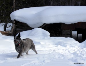 Nordic Sleigh Rides cattle dog.  HeidiTown.com