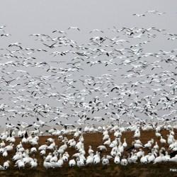 snow geese taking flight. HeidiTown.com