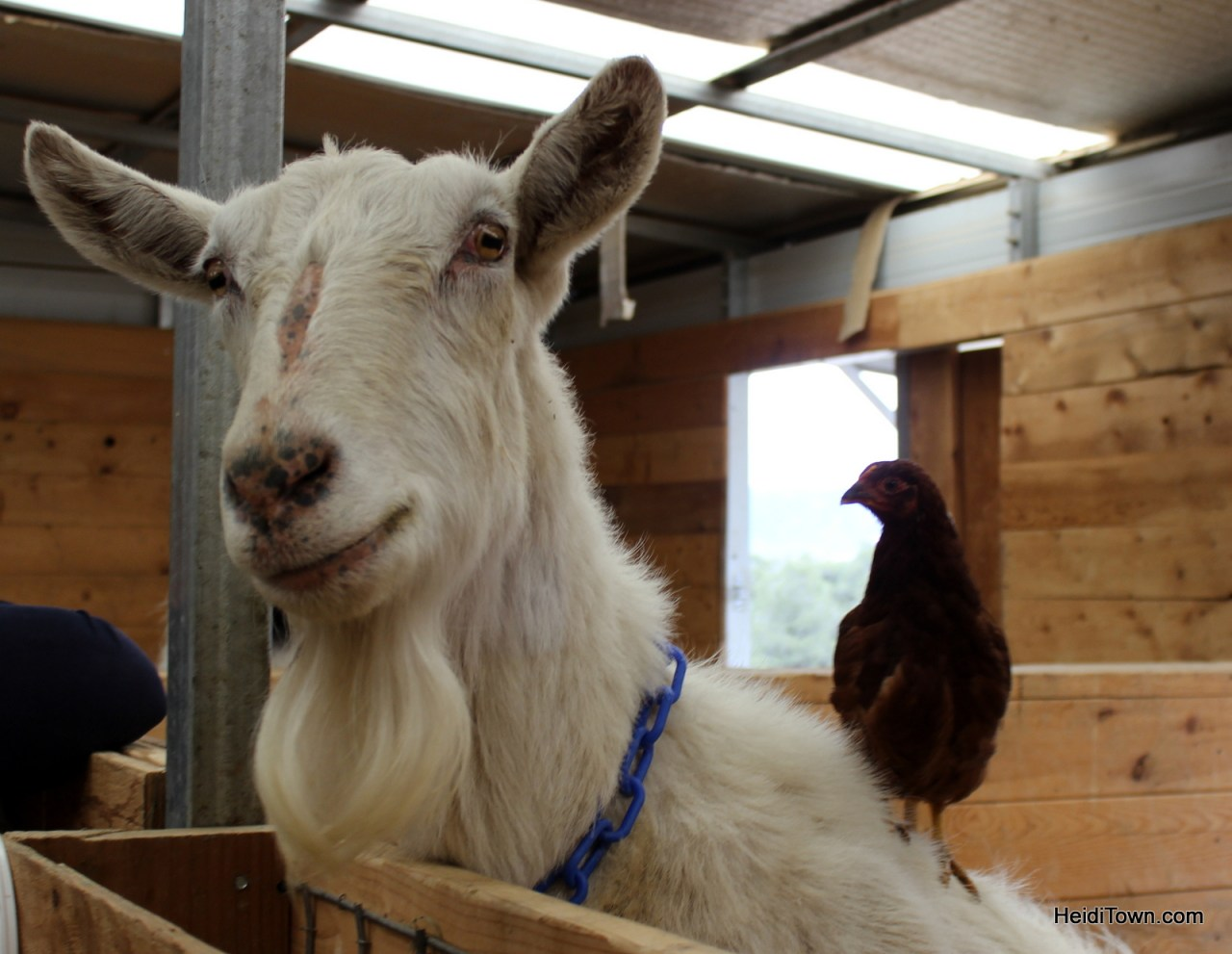 This is a chicken standing on a goat at the Mountain Goat Lodge. HeidiTown.com