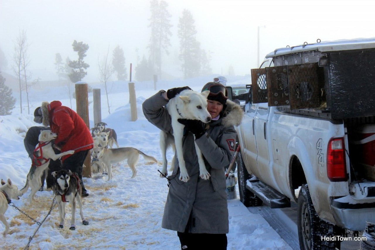 Dog Sledding at Snow Mountain Ranch. Getting the dogs ready to go. HeidiTown.com