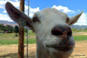FEATURED FESTIVAL Farm to Fiddle Festival, Hotchkiss, Colorado. Avlanche Cheese Co. goat. HeidiTown.com