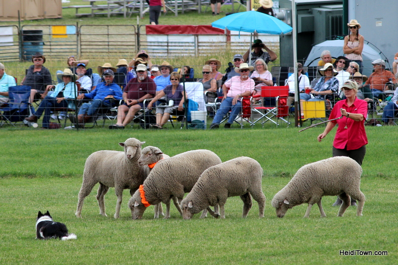 Dogs, Sheep & Meat Pies at the Meeker Sheepdog Trials (7)