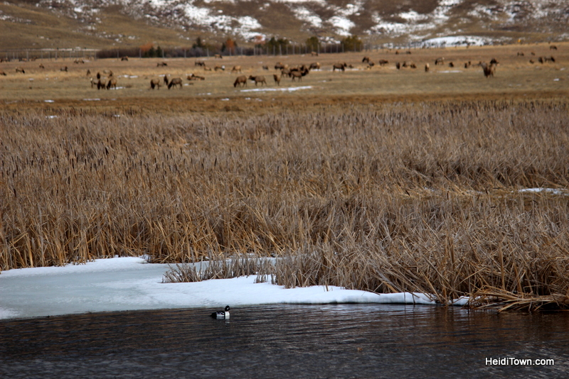 3 Reasons to Book a Trip to Jackson, Wyoming Right Now, National Elk Refuge, bufflehead & elk, HeidiTown.com
