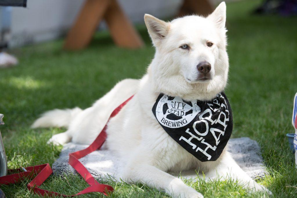 Leashed dog at Hops & Harley 2018.