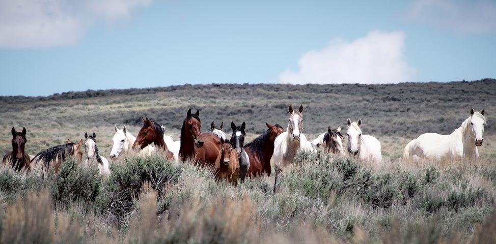 Photo by Aleta Wolf | Sand Wash Basin Wild Horse Advocate Team - SWAT