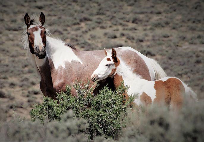 Sand Wash Basin Wild Horse Advocate Team - SWAT 4 Photo by Aleta Wolf