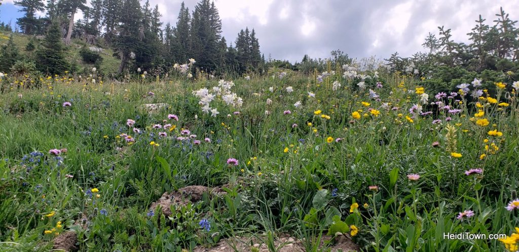 The Snowy Range in Living Color Wildflowers in Wyoming. HeidiTown (7)