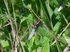 Plakbuiklibel(mannetje)