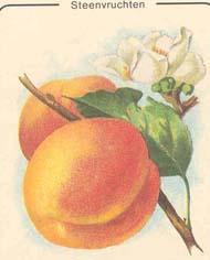 steenvruchten abrikoos