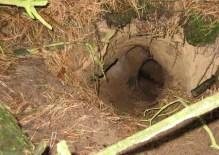 Een oud vossenhol, goed verscholen onder het struikgewas, ontdekt door Sjoerd