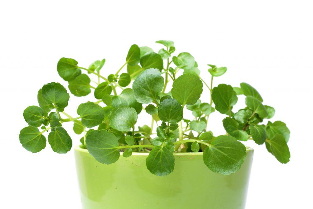 Salat als Gewürz: Brunnenkresse findet geschmacklich in Quark, Hüttenkäse oder Joghurt Platz. Bild: wawritto - fotolia
