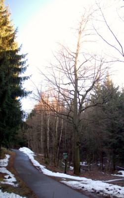 Ehemals 3 Buchen in Einsiedel am 16.01.2011