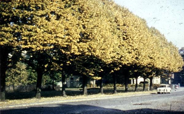 Lindenbäume Am Plan in den 1960er Jahren