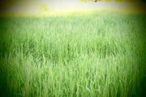 heinäpelto