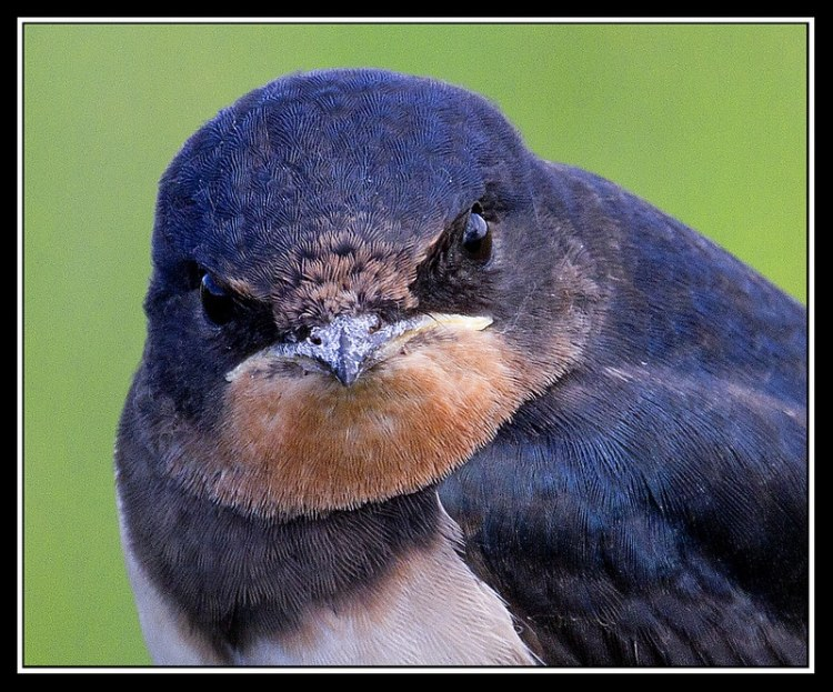 close up of young swallow at wicken fen reserve cambridgeshire england