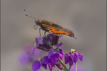 Small Tortoiseshell in Profile