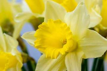 Daffodils in a Vase ©HelenBushe