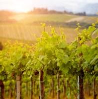 Green vineyard field at Italy.