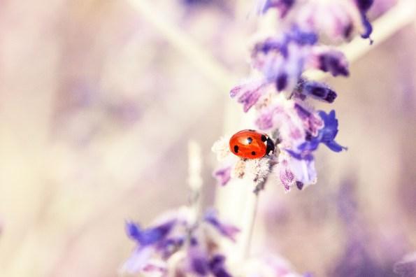 Lavendel er kanskje den mest kjente eteriske oljern. Har du prøvd?