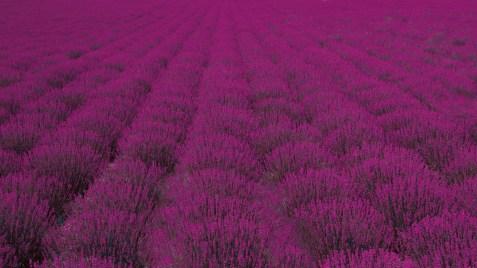 Lavendel jorde