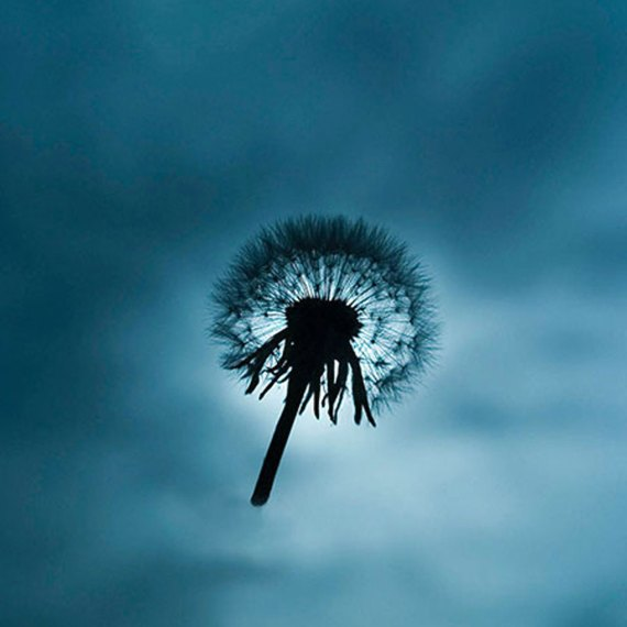 ©KEN SHUNG flora series#12. Color -dandelion close up, silhouetted against a vivid blue sky