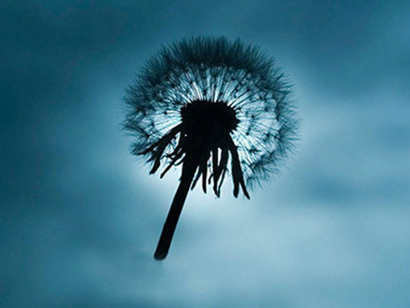 KEN SHUNG photography - image from the flora series. Close up of a dandelion and stem, silhouetted against a vivid blue sky background