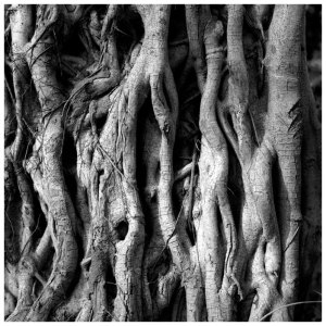 Strangler Tree, Gambia, West Africa. Black and white print ©Jason Florio