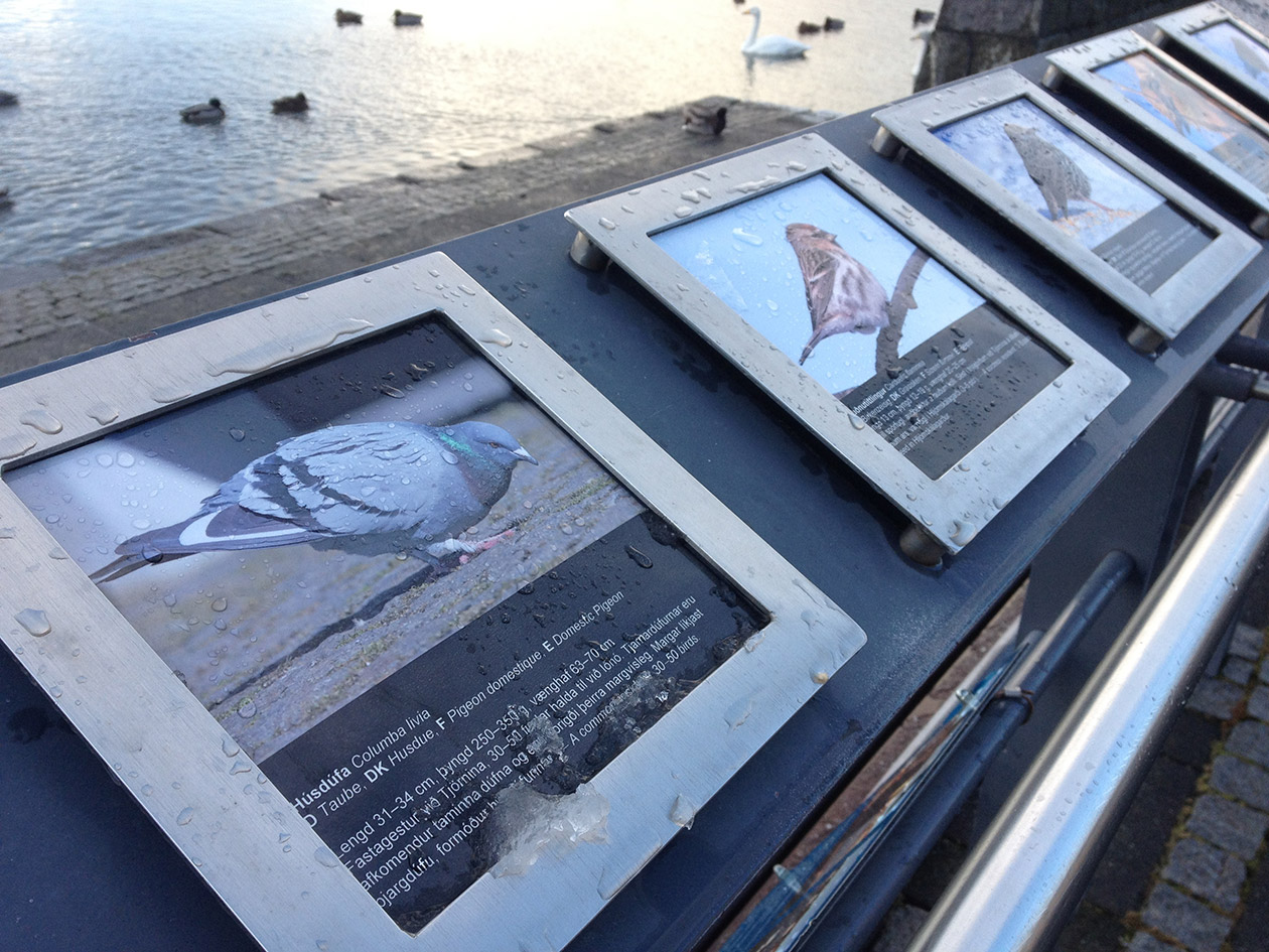 Scientific information about Reykjavik's pigeon population