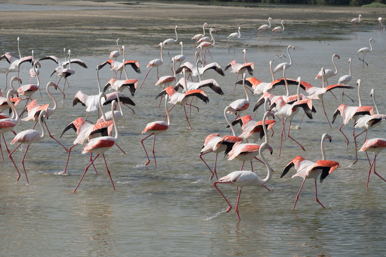 A group of flamingos stretching their wings as they prepare to take off