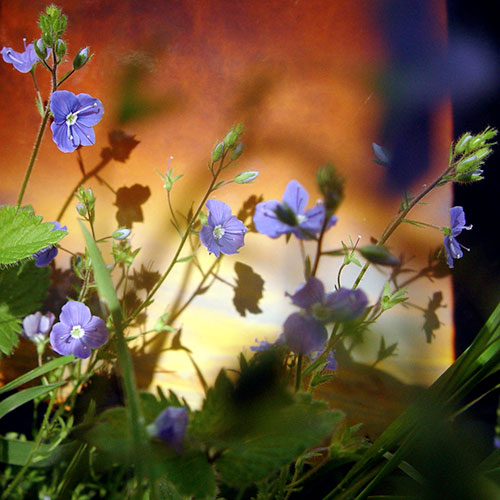 Tale (Speedwell) 2006 - Pigment Print, Variable Size