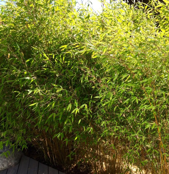 Bambus i hagen.