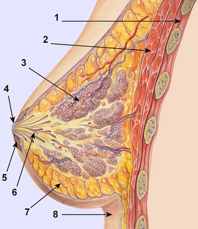 https://i1.wp.com/www.hellenica.de/Med/Anatomia/TomiMastou.jpg