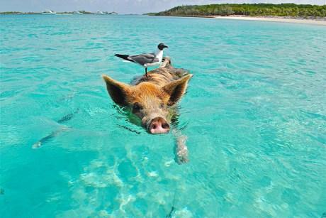 Schwimmendes Schwein mit Vogel